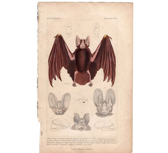 1837 JAVELIN BATS bat head print original antique hand colored lithograph chiroptera