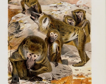 1890 Antique fine MONKEY fine chromolithograph, baboons, papio, antique 125 years old gorgeous print
