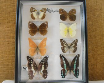 VINTAGE MALAYSIAN BUTTERFLY Collection 8 Mounted Buttery Speciman Framed Display Butterfly Collection Earth Science Art Display