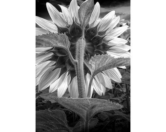 Back of a Sunflower in Black and White in a Field near Rockford Michigan No.BW171 A Fine Art Yellow Flower Nature Photograph