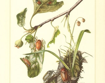 1955 Scarab Beetles, Summer Chafer, Garden Chafer, Anoxia villosa Vintage Offset Lithograph