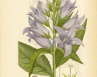 GIANT BELLFLOWER - Botanical 1905 Book Page Wildflower Illustration Plant Drawing Plate 54