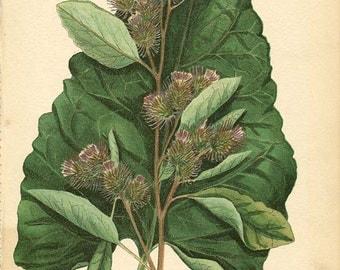 COMMON BURDOCK (Arctium Minus) Original Antique 1909 Book Page Weed Drawing Plant Illustration Plate 62