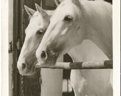 White  Lipizzaner Stallions (Horse) on a Real Photograph Postcard from Austria 1967 with a  Republik Osterreich Christkinol Stamp