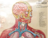 Vintage CRAM'S Free Standing Human Anatomy Chart, Mid Century Medical Hospital Organs And Muscles