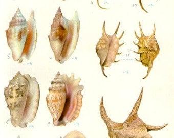 Vintage Sea Shells Print 173, antique lithograph