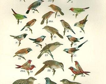 Birds 1931 Australian Book Print natural science plate XXI, bird prints