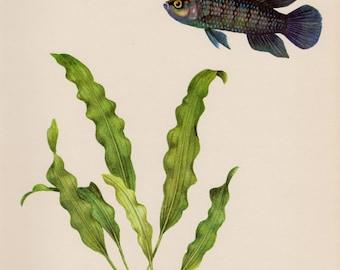 Vintage Fish Print Aquarium Fish Beach House Decor Fishing Gallery Wall Art Ocean Decor Blue Perch 1833