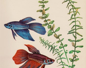 Vintage Fish Print Aquarium Fish Beach House Decor Fishing Gallery Wall Art Ocean Decor Siamese Fighting Fish 2202