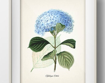 Blue Hydrangea (Hydrangea Otaksa) - JF-06 -  Fine art print of a vintage natural history antique botanical illustration