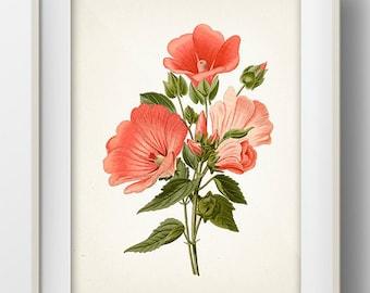 Spanish Lavatera Botanical Illustration - FL-18 - Fine art print of a vintage natural history antique botanical illustration