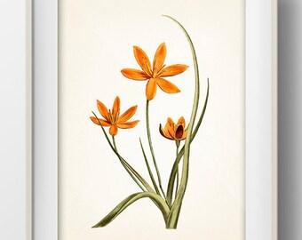 Orange Flowers #1 - FL-11 - Fine art print of a vintage natural history antique botanical illustration