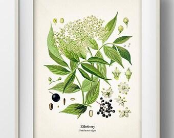 Vintage Elderberry Print - Fine art print of a vintage natural history antique botanical illustration