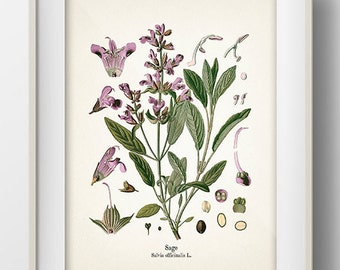 Vintage Sage Print - Fine art print of a vintage natural history antique illustration