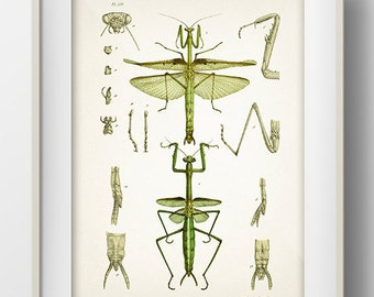 Praying Mantis Drawing - IN-03 - Fine art print of a vintage natural history antique illustration, 8x10 11x14 12x18 13x19