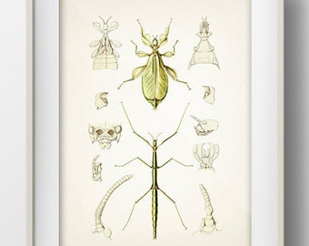 Leaf Insect and Stick Bug : Fine art print of a vintage natural history antique illustration, 8x10 11x14 12x18 13x19 IN-11
