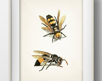 Wasps - IN-10 - Fine art print of a vintage natural history antique illustration 8x10 11x14 12x18 13x19