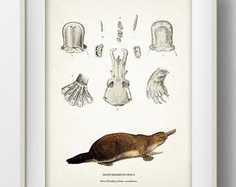 Platypus - MA-06 - Fine art print of a vintage natural history antique illustration 8x10 11x14 12x18 13x19 MA-06