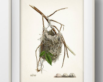 Baltimore Oriole Bird Nest - NE-03 - Fine art print of a vintage natural history antique illustration