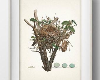 Cuckoo Bird Nest - NE-05 - Rustic woodland fine art print of a vintage natural history antique illustration