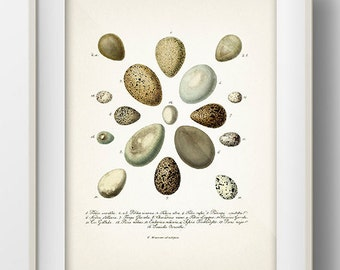 Eggs Series 2 - EG-02 - Rustic woodland fine art print of a vintage natural history antique illustration