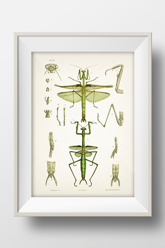 Praying Mantis Drawing IN-03 Fine art print by ThePrintedVintage