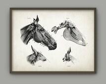 Horse Head Anatomy Poster - Horse Illustration Print - Veterinary Horse Anatomy Chart - Equine Skeletal Anatomy - Horse Biology Art Print