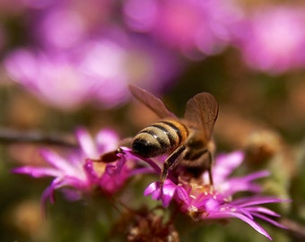 MACRO NATURE Photography BEES Close up colorful Green Gold Pink Purple flowers wall art, orange black insect honey bee