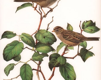 JF Lansdowne Print Book Plate Art, White-crowned Sparrow