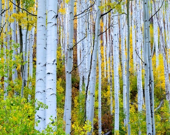 Aspen Trees Colorado Autumn Forest Rust Orange Yellow Gold Portrait Leaves Fall Rustic Cabin Lodge Photograph