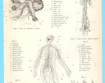 Antique scientific illustration - Physiology the Brain