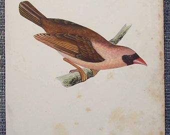 Antique hand tinted bird  illustration (red beaked weaver)