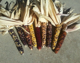 "Indian Corn  17 count  6"" to 7.5"""