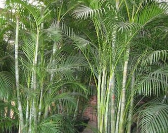 Dypsis lutescens, Golden Cane Areca Palm, fast growing indoor palm, 10 seeds