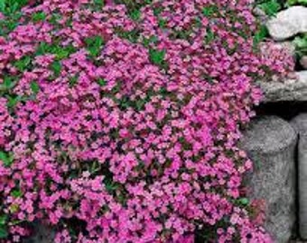 Rock Soapwort Seeds, Saponaria Ocymoides, Rose-pink Flowers, Herb Plant, Perennial, Rock Gardens, Ground Cover