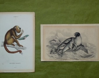 Monkey, Seal, Steel Engravings of Animals by Lizars, Vintage Prints, collectibles.