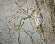 7 x 5 inch Professional Lab Print of a wild Tawny Owl peacefully sleeping in a tree.