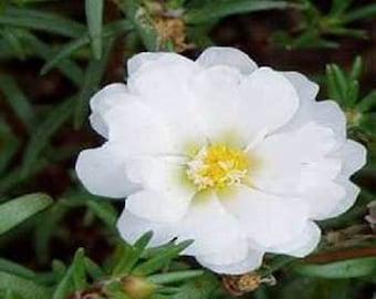 500 Portulaca Seeds Moss Rose White Portulacea FLOWER SEEDS