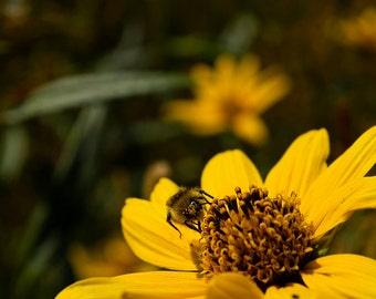 Bee, Daisy, Yellowstone, National, Park, Yellow, Montana, Pollen, Closeup