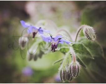 Fine Art Flower Photography. Flower Photo. Flower Photography. Flower Print. Botanical Print. Purple Flower Photo. Flower Wall Art.