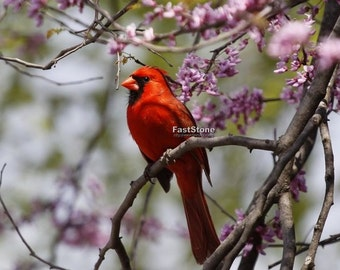 Cardinal, male, bird photography. photo, print, wall art, home decor, nature photography, songbird, free shipping