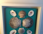 Framed Shells Bay Scallop and Oyster Shells Mounted on Aquamarine Mat Board in White Floating Frame Seashells Collected in Cape Cod Bay