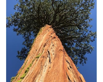 "Aw ""Giant Mossy Redwood"" trees are truly amazing, Rustic photography, Tree Photo, Rustic Decor, Tree Photo, Sky photo"
