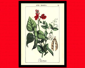 Vintage Pea Plant Print - Vintage Wall Decor Botanical Prints Flower Print Garden Home Decor Romantic  t