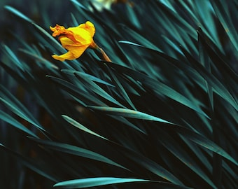 Lone daffodil swaying in the wind, nature photography, flower photography, fine art photography
