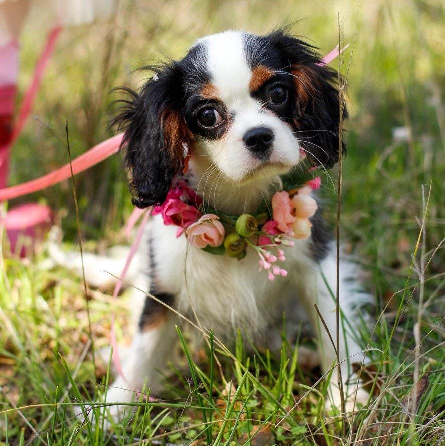 Bridal Dog Collar