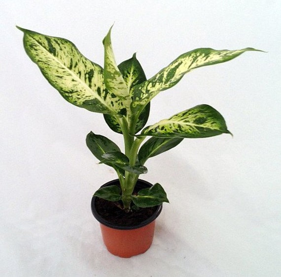 Indoor Plants Grown In Water: Splash Dieffenbachia Easy To Grow Houseplant FREE SHIPPING