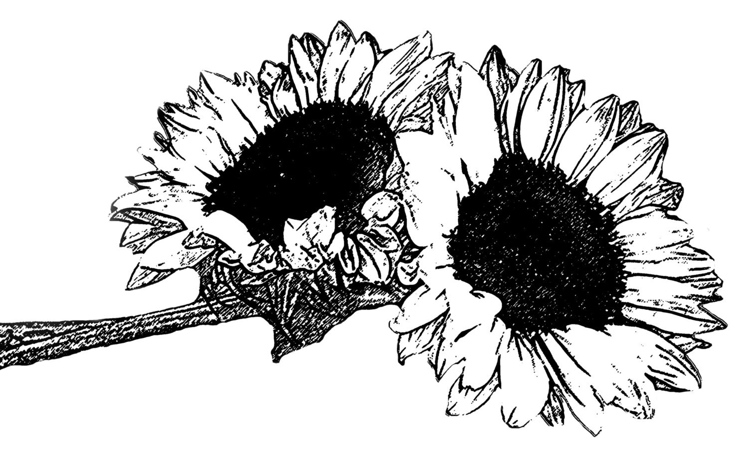 DIGITAL STAMP sunflower 01 black  for Clipart Sunflower Black And White  545xkb