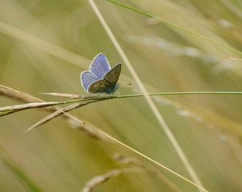 "Common Blue Butterfly - 16"" x 12"" Photographic Print"