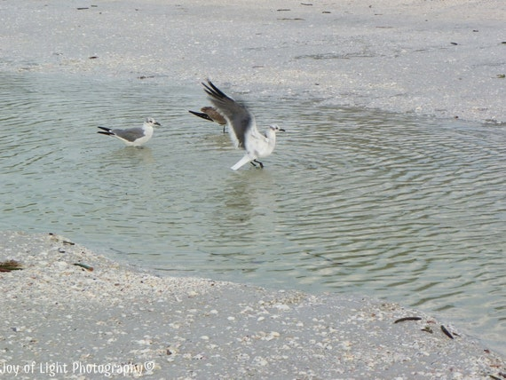 Sea Bird Photography,Sea Gull Photography, Bird Photography, Nature Photograph, Beach photograpy, summer, bird photograph,5419(2)